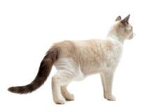 Back view of Siamese kitten Stock Photo