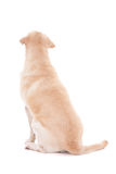 Back view of sitting dog isolated on white Stock Photography