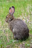The back view of a snowshoe hare in the grass.  Stock Photos