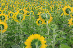 Back view of sunflower garden Royalty Free Stock Photo