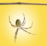 Back view of a wasp spider hanging from a wooden branch, Argiope Stock Image