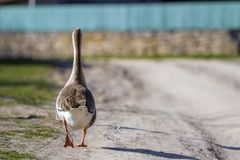 Back view of white-gray domestic full-grown fat healthy goose st Royalty Free Stock Photos