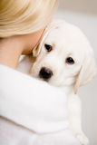 Back view of woman embracing labrador puppy. Back view of woman in white sweater embracing puppy of labrador Stock Image