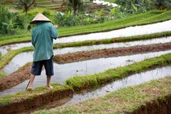 Back view of worker on rice field Stock Photos