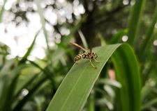Back view of a yellow wasp, winged hymenopteran insect, over a green leaf. Back view of a yellow wasp, winged hymenopteran insect, over a green big leaf with royalty free stock image