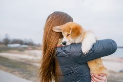 Back view of young girl with little corgi puppy in her hands in park.  stock image