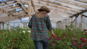 Back view Young woman farmer walks in a flower greenhouse and examines the grown roses, flower business. stock footage