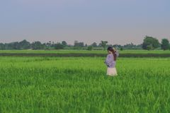 Back view of young woman take a photo by smartphone in the rice royalty free stock photography