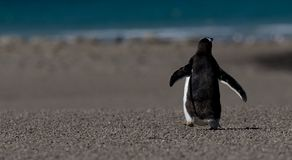 Back of Walking Gentoo Penguin. A lone Gentoo makes his way to the azure blue seas along a flat deserted beach. Falkland Islands stock photography
