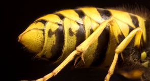 Back of wasp in black background Stock Image