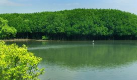 Back water river with green trees in the mam grow forest with sky. Green trees in the mam grow forest with sky and back water river near the karaikal beach in stock photography