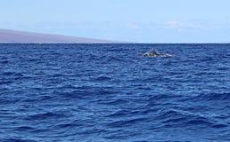 Back of whale. Wild whale on Maui's coast, Hawaii stock images