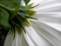 Back of White Flower Stock Photography
