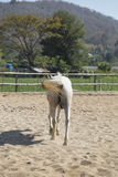 Back of white horse in farm relaxing in sand Stable Royalty Free Stock Image