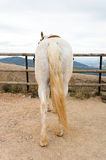 Back of white horse Royalty Free Stock Image