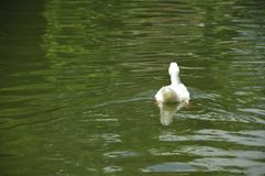 Back of White Pekin Duck in a pond horizontal Royalty Free Stock Photo