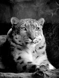 Back and white snow leopard Royalty Free Stock Images
