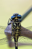 Back of wild black yellow dragonfly Stock Photography
