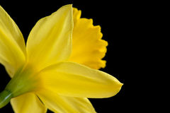 Back of a yellow daffodil Royalty Free Stock Photo