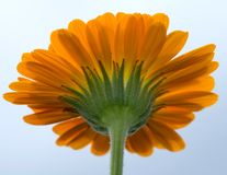 Back of a yellow gerbera flower Stock Photo