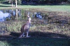 Back young kangaroo looking to the lake.  stock photo