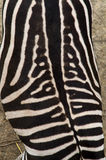 Back of Zebra, black and white pattern from above. Stock Image