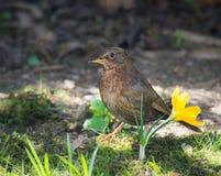 Backbird que senta-se em uma flor do açafrão Imagens de Stock