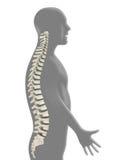 Backbone Stock Image