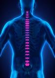 Backbone Intervertebral Disc Anatomy Stock Images