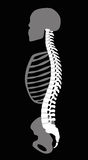 Backbone Skeleton Upper Body Torso Stock Images