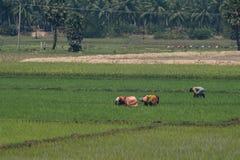 Backbreaking работа в полях риса Tamil Nadu Стоковая Фотография RF