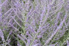 Purple Violet Lavender Flowers Background. Backdrop of beautiful and fragrant lavandula herb flora plants growing outside. Close-up of violet purple lavender royalty free stock photos