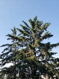 Foliage of the pine trees and the blue sky. Backdrop for environmental and nature ads, ecology and ecosystem care, green leaves and foliage stock image