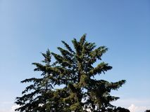 Foliage of the pine trees and the blue sky. Backdrop for environmental and nature ads, ecology and ecosystem care, green leaves and foliage royalty free stock image