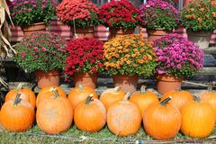 Beautiful background image of bright pink, red and purple flowers with Orange pumpkins in Autumn market. Backdrop highlighting bright pink, red and purple royalty free stock image
