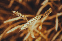 Backdrop of ripening ears of yellow wheat field on the sunset cl Royalty Free Stock Photos