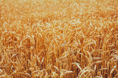 Backdrop of ripening ears of yellow wheat field on the sunset cl Royalty Free Stock Photography