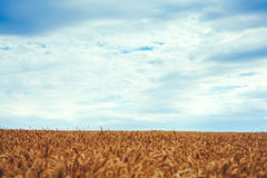 Backdrop of ripening ears of yellow wheat field on the sunset cl Royalty Free Stock Photo