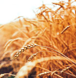 Backdrop of ripening ears of yellow wheat field on the sunset cl Stock Photography