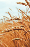 Backdrop of ripening ears of yellow wheat field on the sunset cl Stock Photos