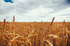 Backdrop of ripening ears of yellow wheat field on the sunset cl Royalty Free Stock Image