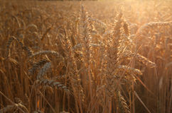 Backdrop of ripening ears yellow wheat. Backdrop of ripening ears of yellow wheat field on the sunset cloudy orange sky background Copy space of the setting sun stock image