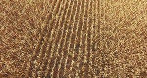Backdrop of ripening ears of yellow wheat field stock video footage