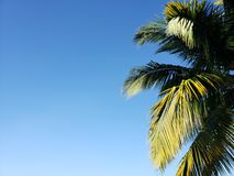 Foliage of a tropical palm tree and background with blue sky. Backdrop for summer holiday ads and tropical places, travel and beach tourism royalty free stock image
