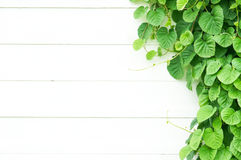 Backdrop vine leaf on the white wood wall with copy space Royalty Free Stock Image
