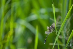Backdround do campo de exploração agrícola da libélula Imagem de Stock