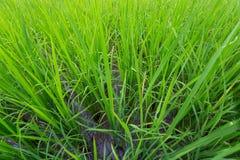 Backdround do campo de exploração agrícola do arroz Imagens de Stock