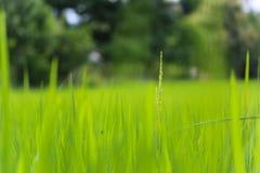 Backdround do campo de exploração agrícola do arroz Fotografia de Stock Royalty Free