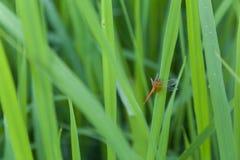 Backdround do campo de exploração agrícola do arroz da libélula Imagens de Stock