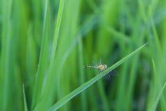 Backdround do campo de exploração agrícola do arroz da libélula Foto de Stock